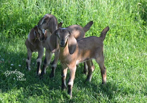 Three of the eight kids born on Birdsong Farm in 2015.