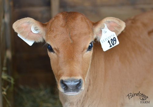 Calf or Cow? (April 9, 2016) Trying to choose between buying a baby calf or bred heifer, or a cow that is already milking? In this post I outline a few of the pros of buying a cow versus buying a calf.