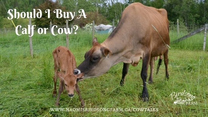 Trying to choose between buying a baby calf or bred heifer, or a cow that is already milking? In this post I outline a few of the pros of buying a cow versus buying a calf.